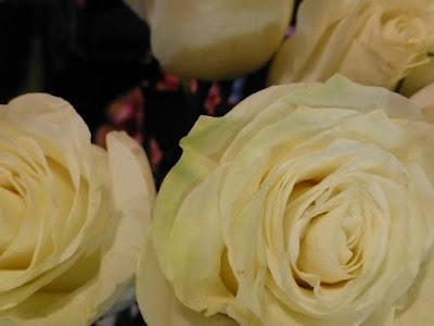 ecuador-roses-white