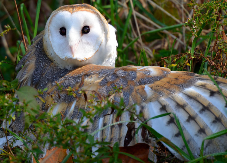 "Extended wing of a barn owl -- ""Storm"" from RAPTOR, Inc."