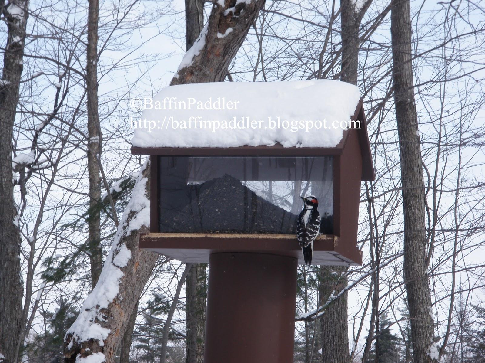 http://1.bp.blogspot.com/-ArstkXhN3Zs/T0mAwX4ljdI/AAAAAAAAA7A/dRqMuwq5SE8/s1600/BaffinPaddler_woodpecker-shilly-shally-cabin-gatineau-park-cross-country-skiing-quebec-canada.JPG