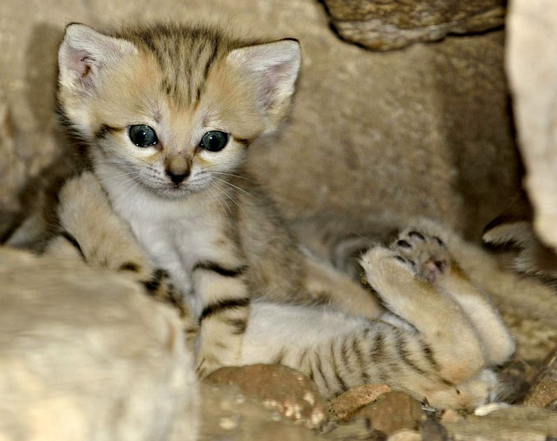 White Wolf : 4 Rare (and Adorable) Sand Cat Kittens Born ...