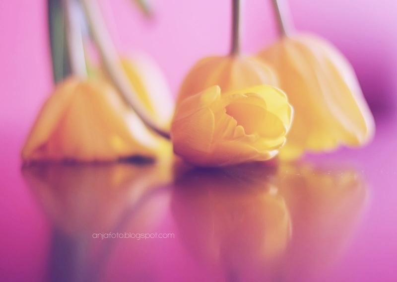 tulipan, tulipany, kwiaty, wiosenne kwiaty, wiosna, żółte tulipany