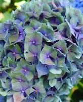 4th Anniversary Gift Hydrangea Flower