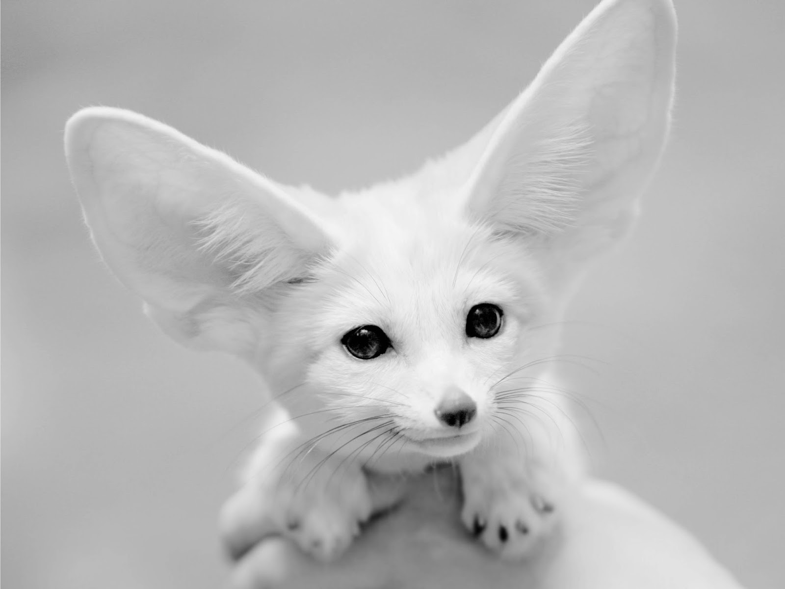 HD Fennec Fox Wallpapers  White Pet Fox