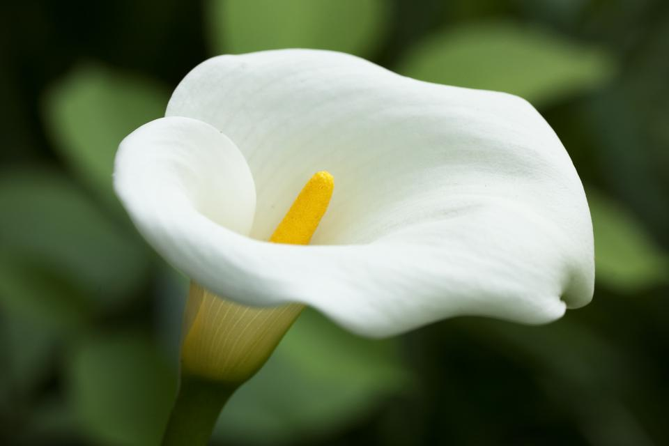 romantic flowers calla lily meaning