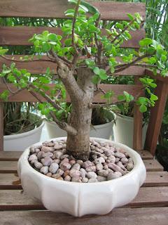 http://1.bp.blogspot.com/-AsZkvSMbpVU/UbpTyhdOTfI/AAAAAAAAAS8/5gkC0W9Hplk/s1600/bonsai-jade-plant.jpg