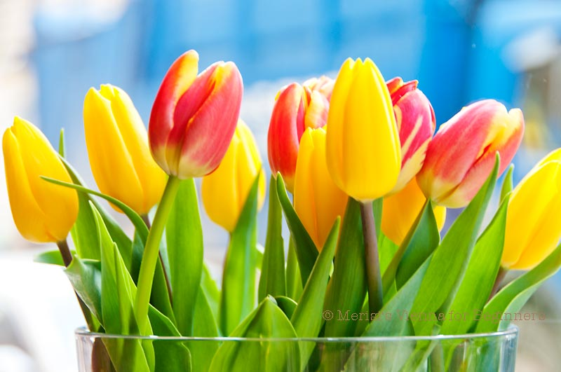 merisi's vienna for beginners: tulips on valentine's daya true, Ideas