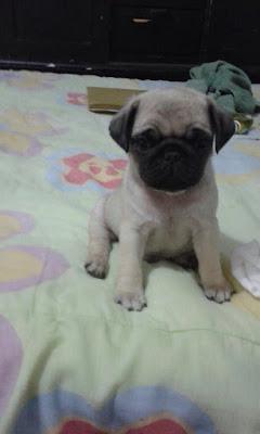 Filhote Pug