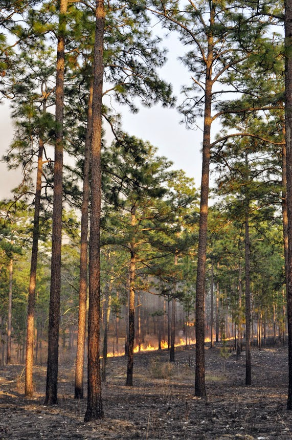 Longpine Plantation burning