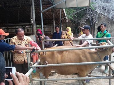 Dinas Pertanian Lakukan Kawin Buatan pada Ternak Sapi