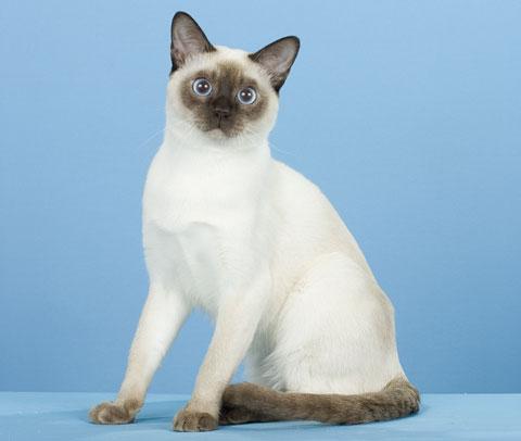 Gatitos lindoss razas de gatos gato tonquin s for Ahuyentar gatos de mi jardin