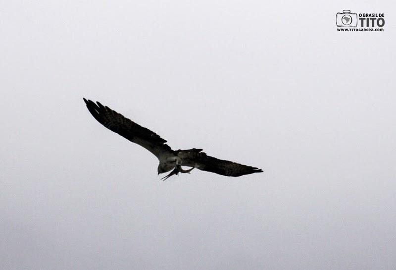 Gavião voa com a presa na ilha de Maiandeua (Algodoal), no Pará