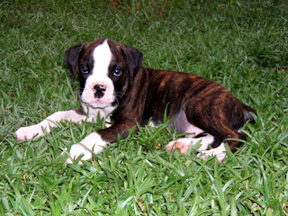 Cute Dogs: Brindle boxer puppies Maltese Shih Tzu Brown And White