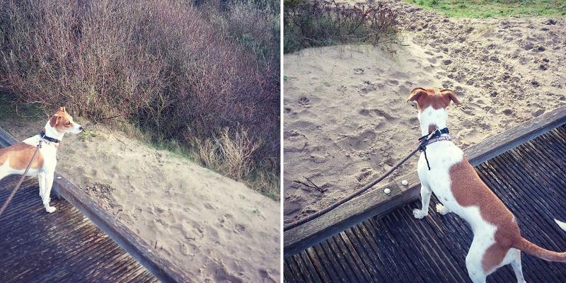 June jack russel dans les dunes