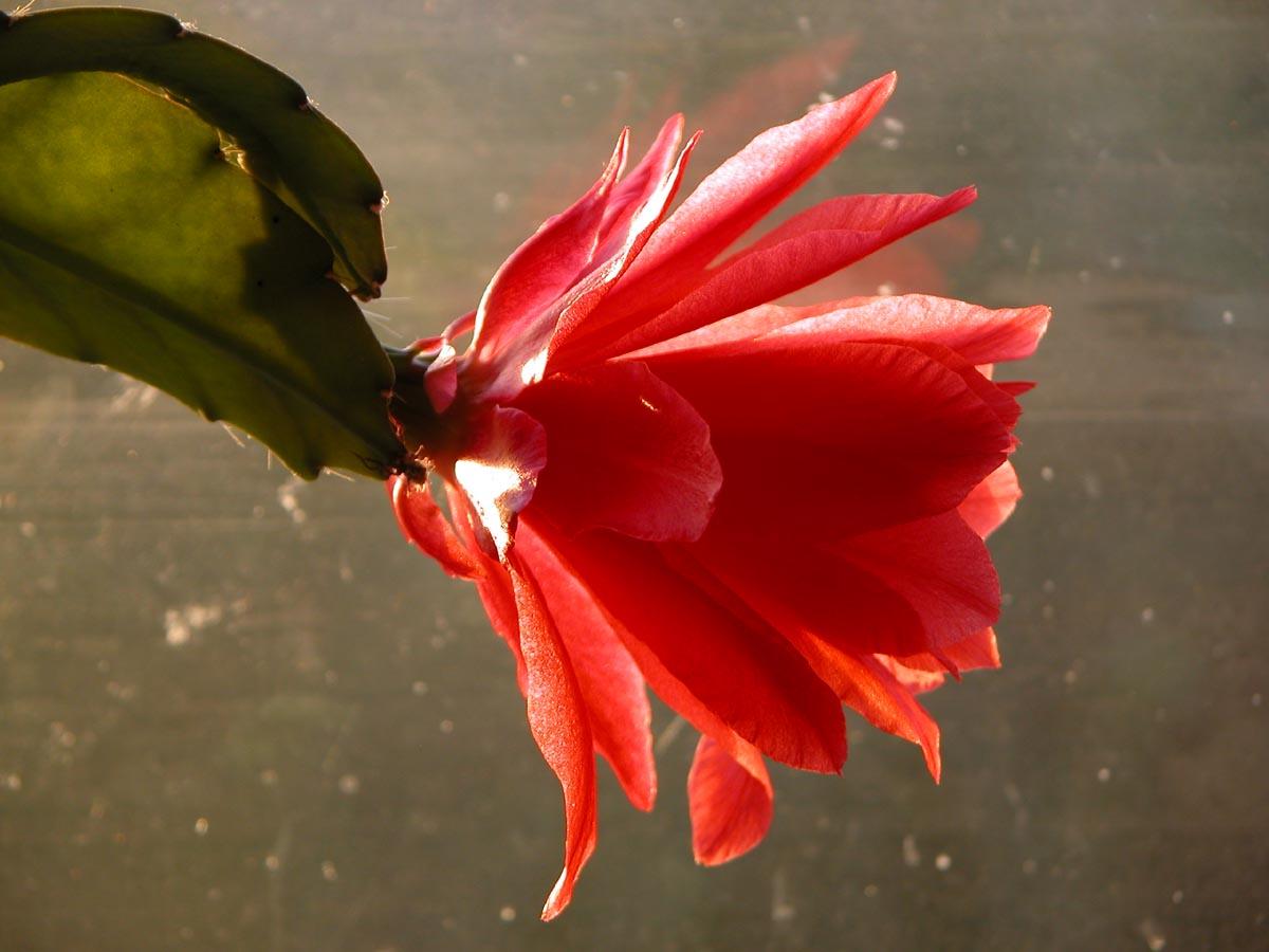 Flowering Cactus Beautiful Flowers