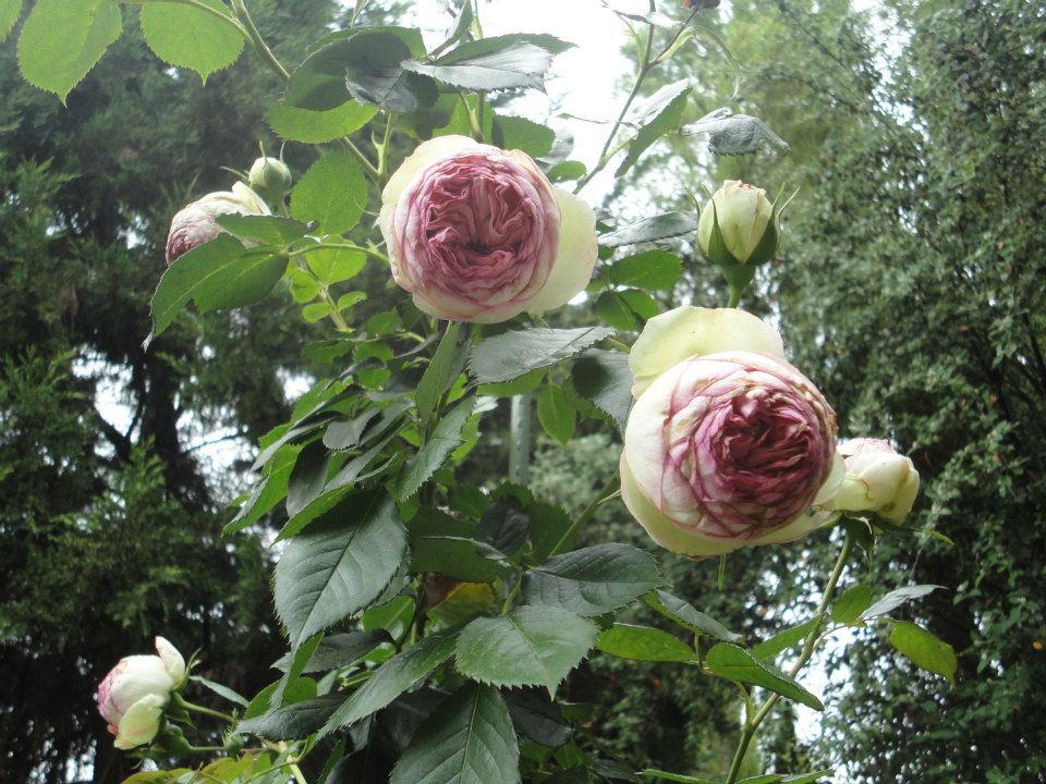 El jardin de elena elena 39 s garden rose pierre de for Pierre de ronsard rosa