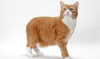 Một chú mèo Manx