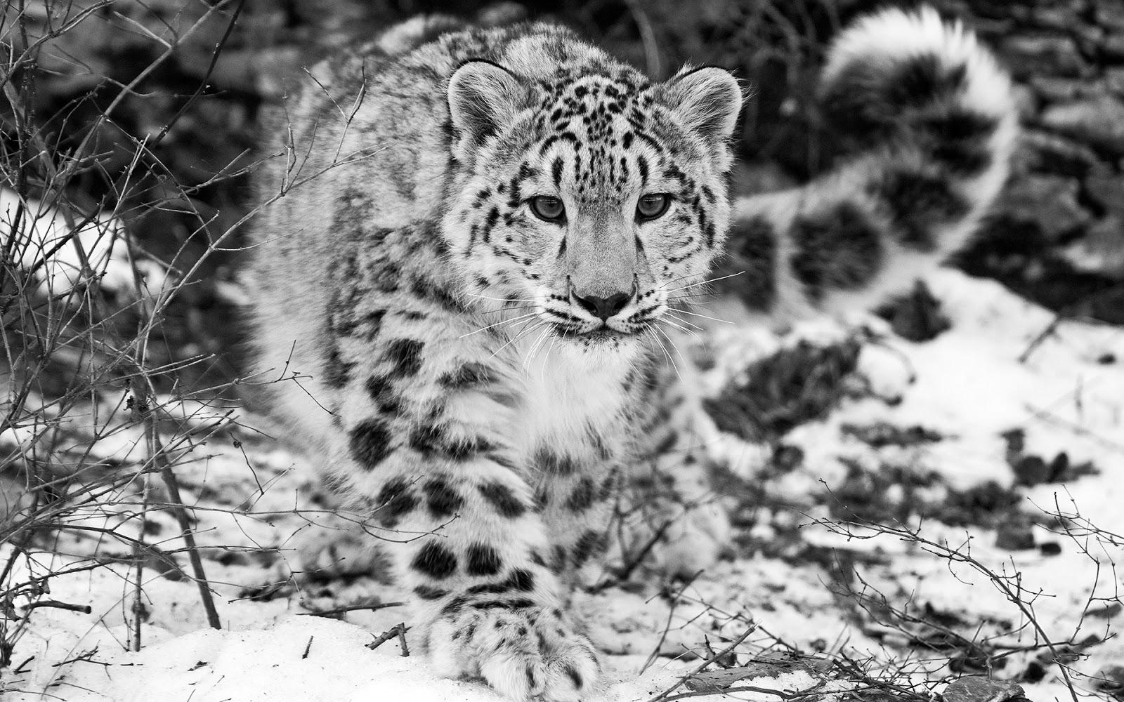 Fondo de Pantalla Animales Jaguar blanco y negro | Fondo Pantalla Online