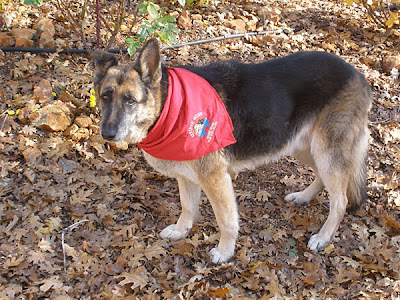 German Shepherd wearing red scarf
