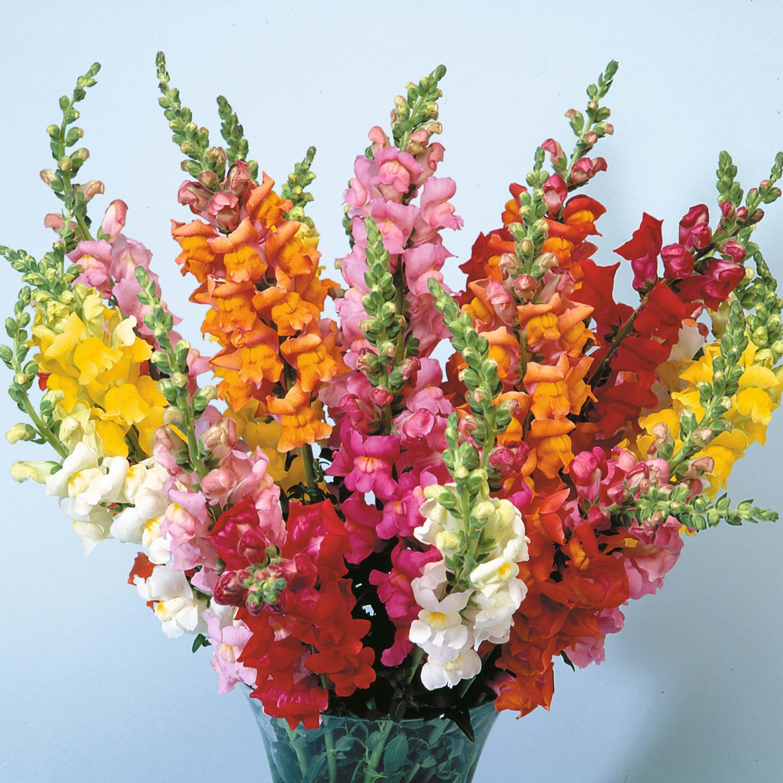 Flowers decorations: Antirrhinum and Aster Flowers
