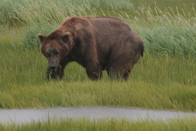 Katmai National Park grizzly bear