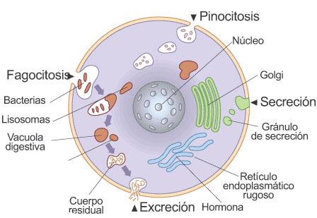 El hongo de las uñas el tratamiento los preparados eficaz el foro