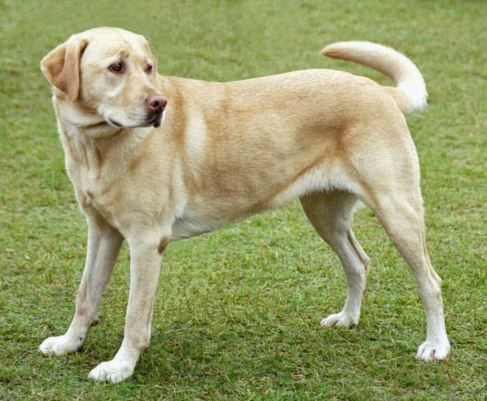 perro labrador canela