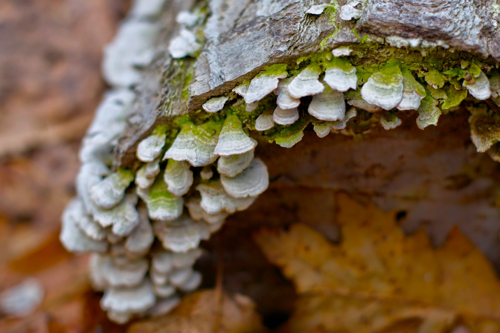 Old turkey tail mushrooms on a log.