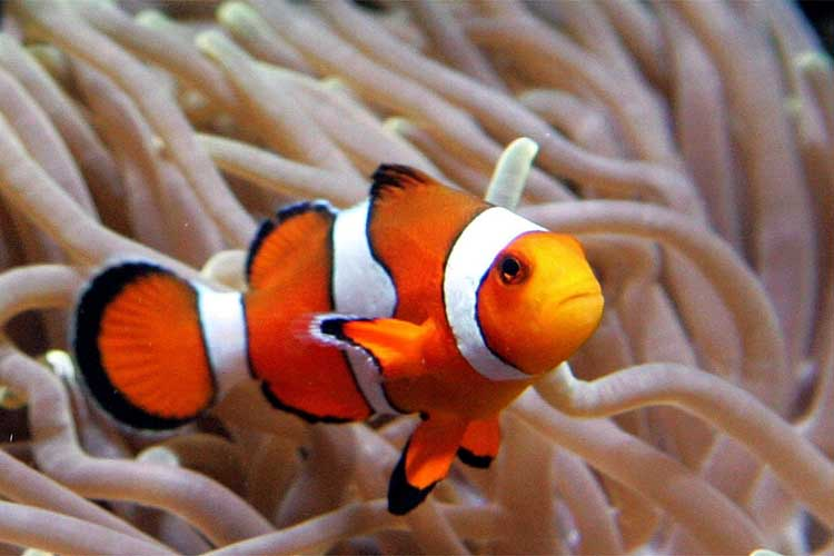 Clownfish and nemo fish in habitat planetanimalzone for Clown fish habitat