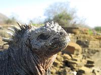 Iguana Santiago Island, Galapagos Islands, Ecuador