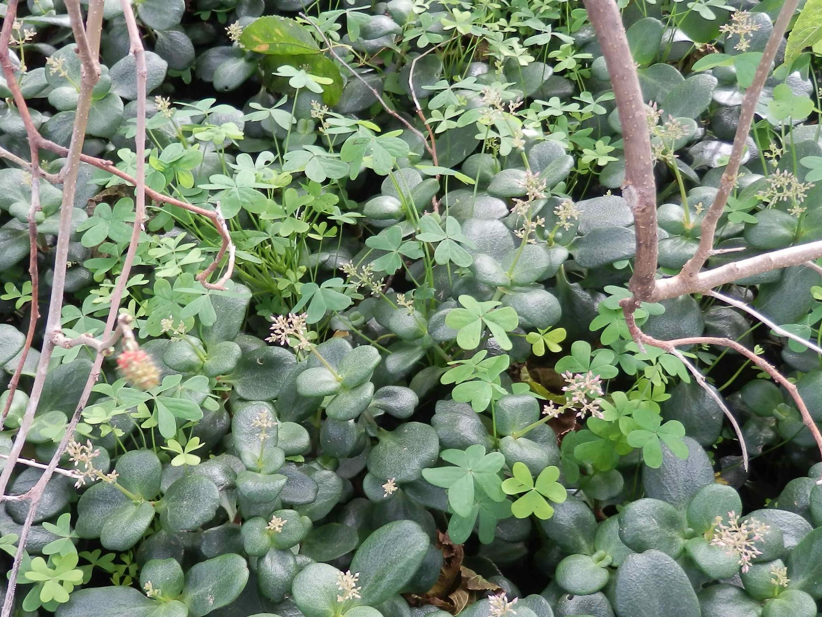 how to get rid of oxalis weed
