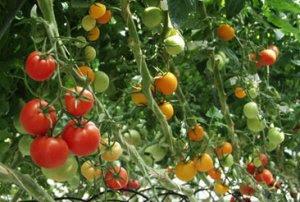 Đơn hàng trồng cà chua tại Nhật Bản
