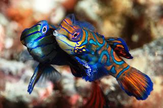mandarin fish 5