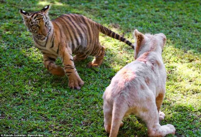 Gambar Anak Harimau
