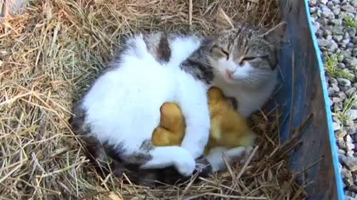 Gatinha adotou patinhos poucos momentos após dar à luz