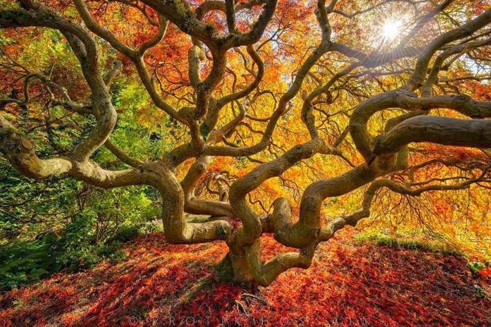 Japanese maple, Portland (Oregon, USA).
