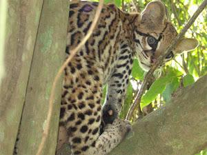 CUNAGUARO ( Leopardus pardalis )