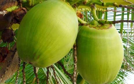 manfaat buah kelapa bagi kesehatan