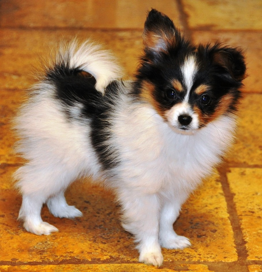 How to Rescue a Papillion Dog