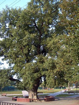 Тот самый дуб зеленый, что у Лукоморья