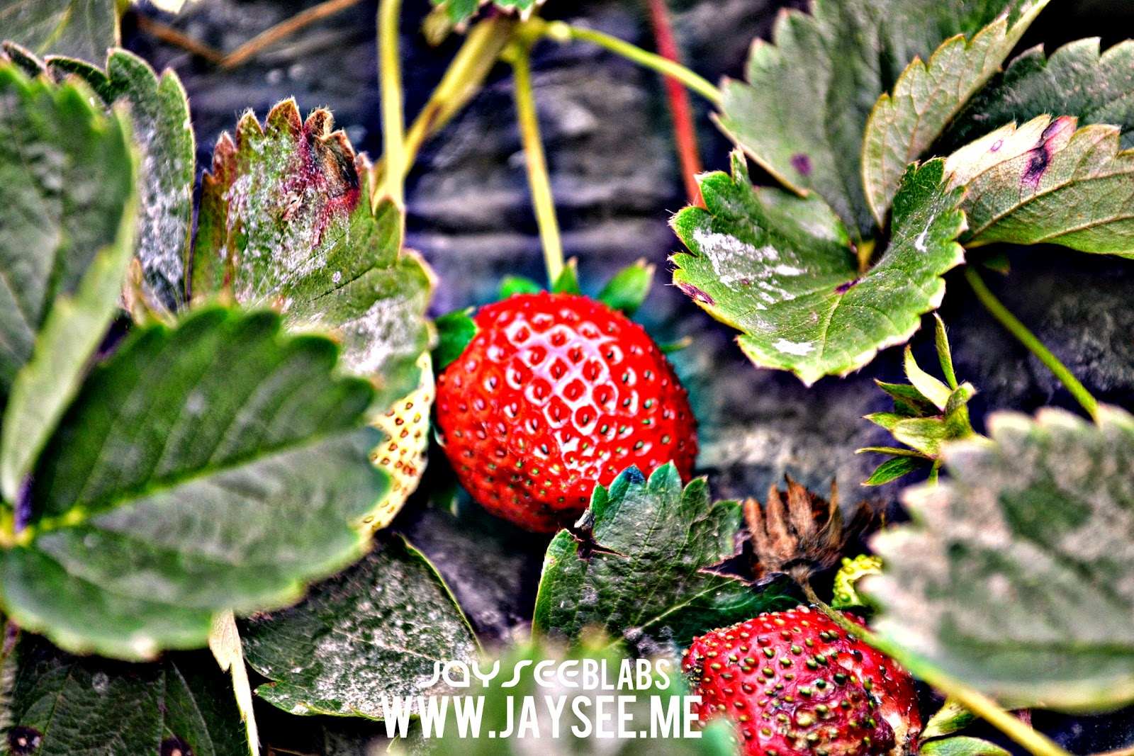 The Strawberry Farm Baguio