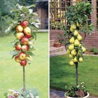 Fructe la ghiveci - sfaturi pentru plantarea merilor, perilor si piersicilor
