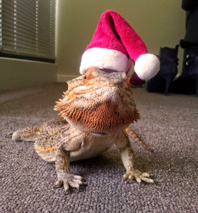 cute bearded dragon, bearded dragon pictures, beardie lizard