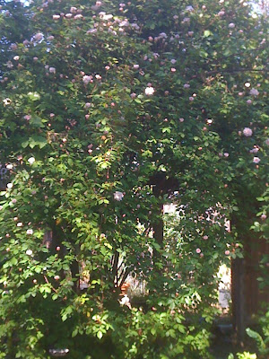 the climbing Cecile Bruner rose can grow to 20 feet