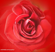 Lovely pink,. or red that glows. Deep, sweetscented. What delight