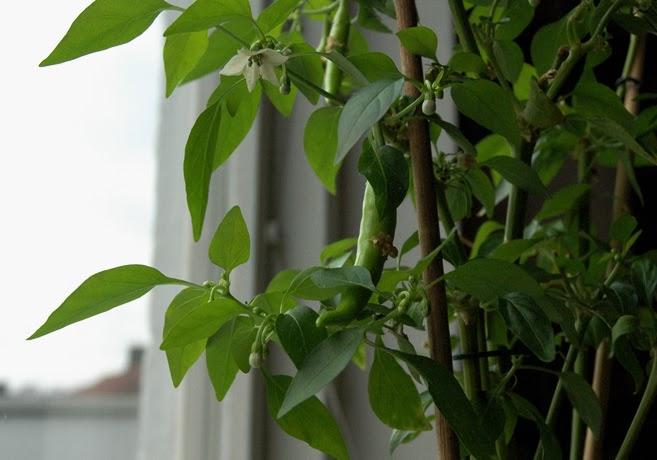 Chiliplanta med gröna chilifrukter