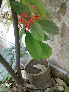ixora grafting