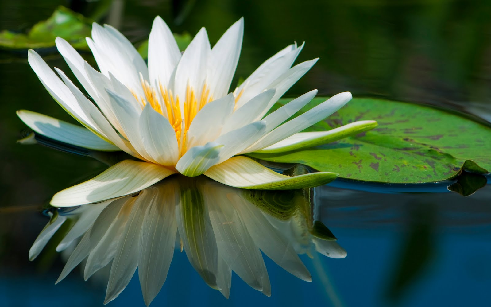 Amazing Lotus On The Water