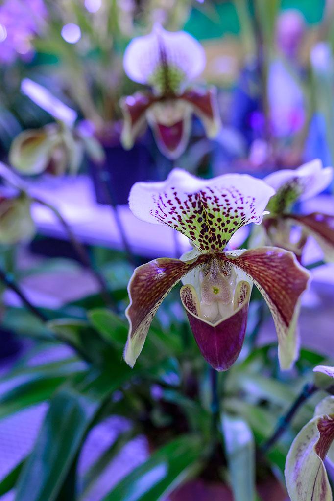 Tristam Colket Jr.'s Orchid