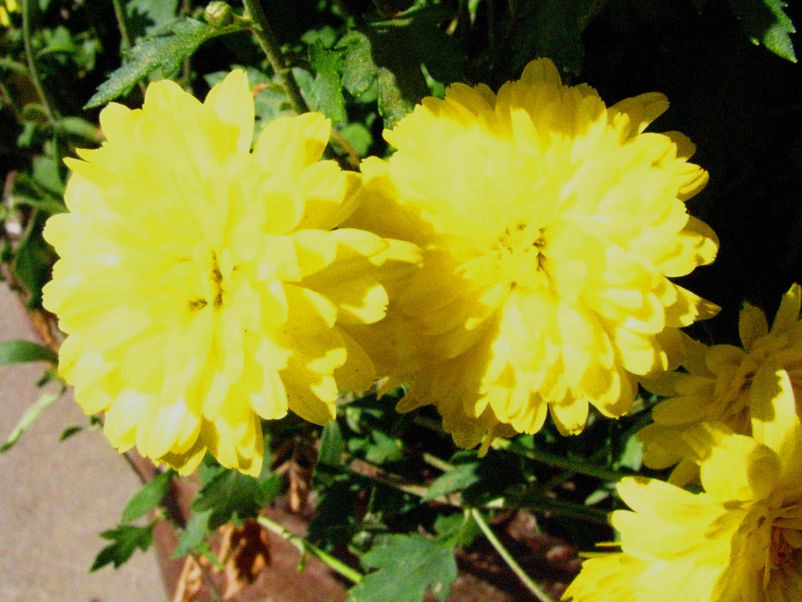 Angelgirlpj Chrysanthemums or Mums