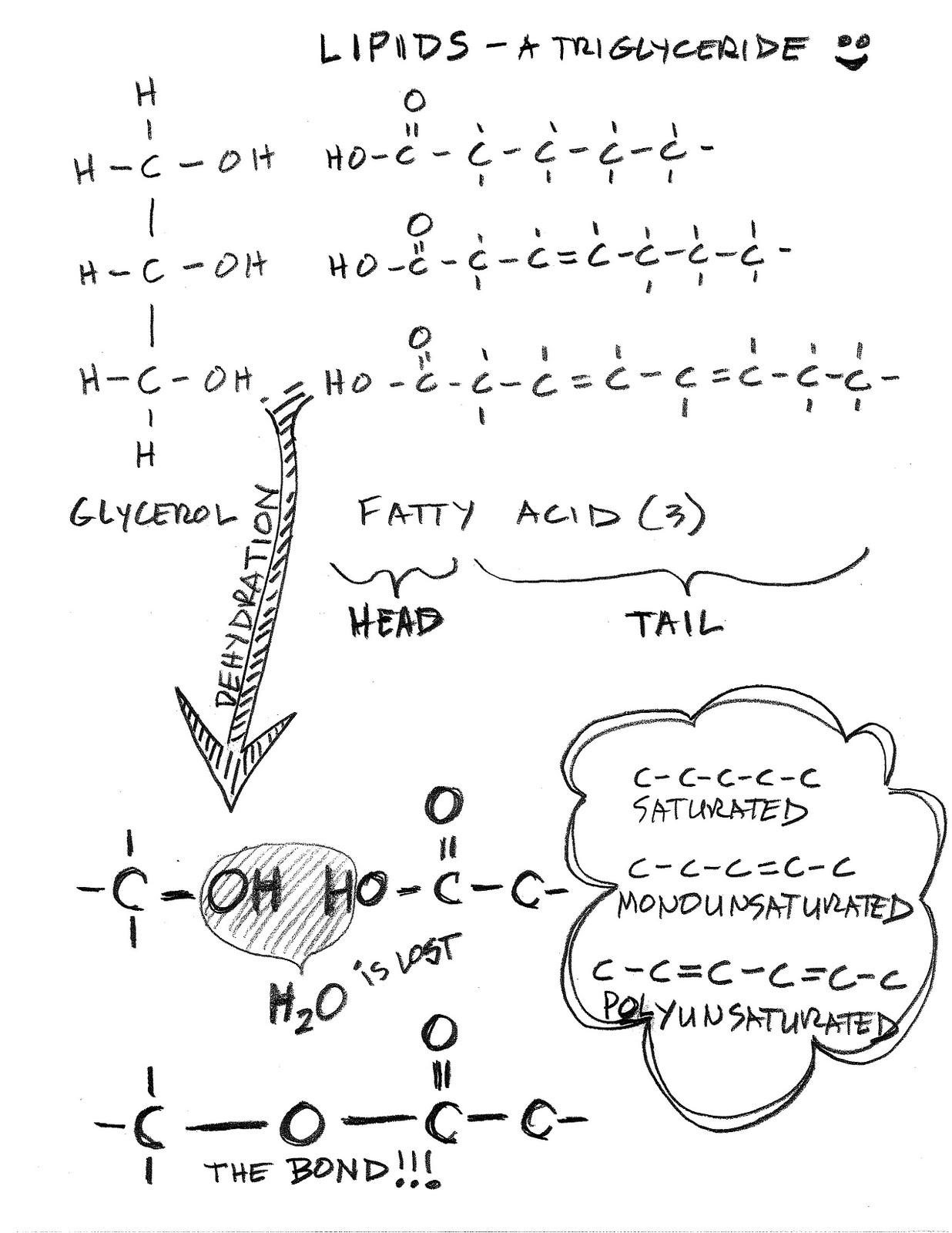 Chapter 4b Polymers Of Life Lipids Biology As If It Mattered
